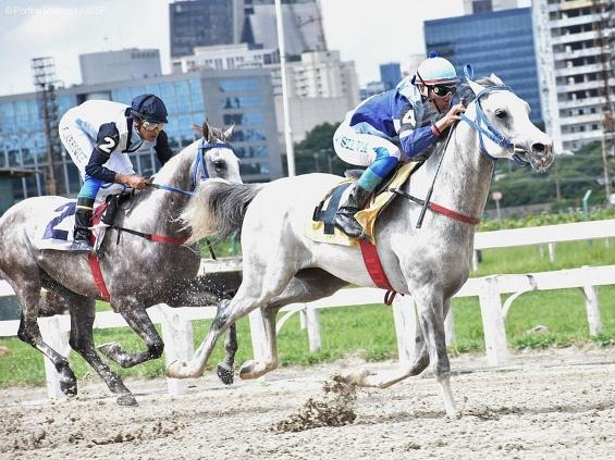 Exemplares da raça Árabe se enfrentam pelo Prêmio UAE Presidend Cup Series For Colts II
